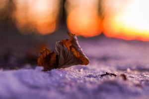 Leaf in the icy sunset by hoeld