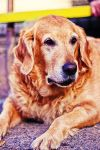 Golden retriever by Emmatyan
