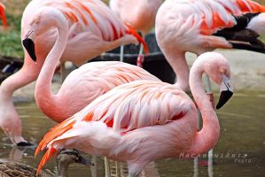 Flamingos by thebreat