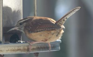 carolina wren by Laur720