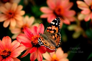 Butterfly On Flower by Royal-Princess