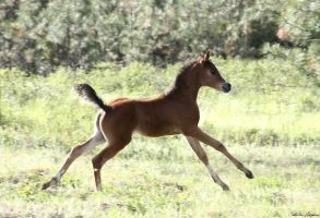 Arabian Foal 004 by Notorious-Stock
