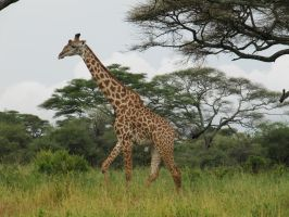 Giraffe 2 by PukiPhotography