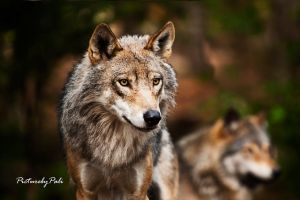 Canis Lupus by PictureByPali
