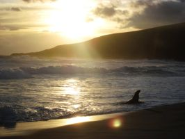Sea Lion, Sandfly Bay, Dunedin, New Zealand by Guppy0031