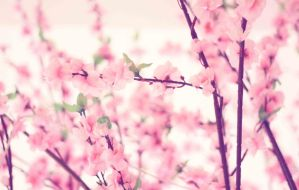 Cherry Blossom by Hastosa