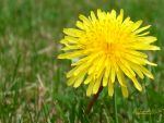 Dandelion1 by AnyLastRequests