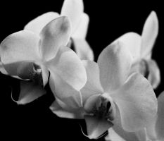 white orchid by Luna-Caillean