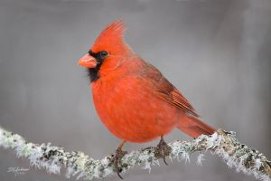 Frosty cardinal by DGAnder