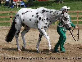 Appaloosa 96 by FantasyDesignStock