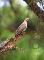 Dove 8-15-11 by Tailgun2009