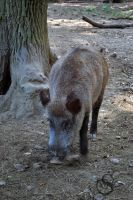 a wild pig #0105 by Shayele82