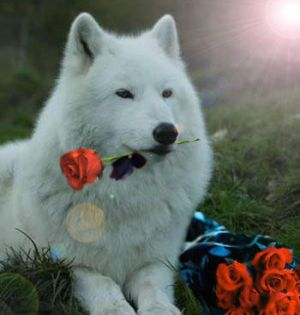 The_Wolf_With_the_Red_Roses_by_HeartRaped.jpg