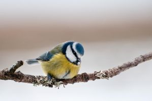 Blue tit 2 by fremlin
