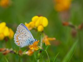 Melitae butterfly by Tom-Mosack