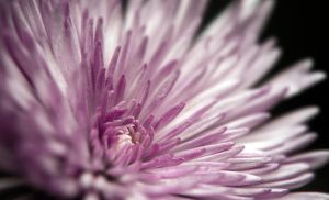 Flower 19 by tpphotography