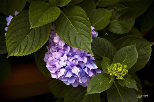 BLUE HYDRANGEA by gameover2009