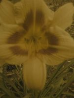 Daylilly Antiqued by FroggieFaith