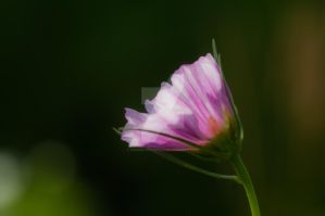Pink by vincepontarelli