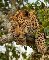 African Leopard 2 by PhilippeduPreez