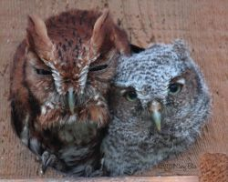 Screech Owls by Cassy-Blue