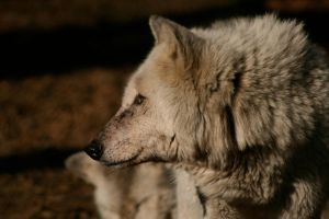 Wolf profile by BecciES