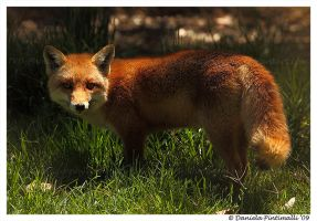 Fantastic Mr Fox II by TVD-Photography