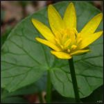 Lesser Celadine Flower Against a Leaf by Coatlique