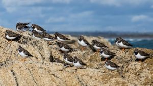 Ruddy Turnstone by LatchDrom