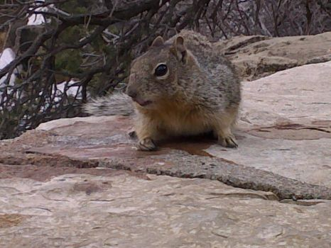 Grand Canyon: Squirrel by MountainKing417