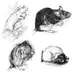 Rat Sketches With More Detail by nEVEr-mor