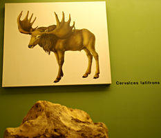 Cervalces latifrons - Reconstruction by Lynus-the-Porcupine