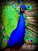 Peacock by krisbby