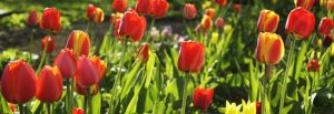 Spring tulips by thebodzio