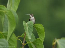 Hummingbird by Nihongo86