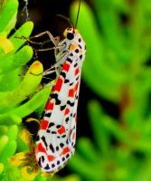 Crimson Speckled Moth by Faunamelitensis