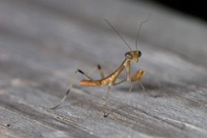 Baby Mantid by Apophis906