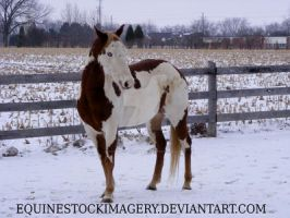 Paint Horse 64 by EquineStockImagery
