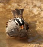 White-crowned Sparrow by Folkeye