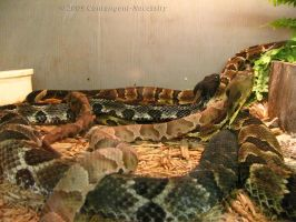 Timber Rattlers by Contengent-Necessity