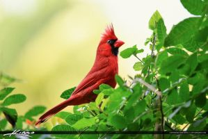 Cardinal-Red-Bird-Perched-on-Bush by CaptainKimo