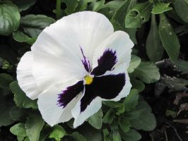 White and purple pansy by thehootfrommrowliy