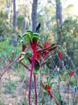 Kangaroo Paws by no-soap-was-harmed