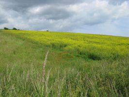 Poppy and rapeseed flower field stock 1 by Sassy-Stock