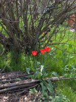 tulip and fig tree by paolaquasar