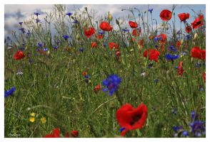 Bleuets et coquelicots by oxalysa