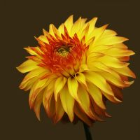 Portrait of a Dahlia 2 by andras120