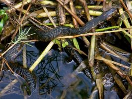 Water Snake by hollybolly95