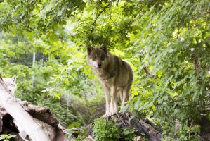 Free Photo Wolf 5 by MentalCinephile