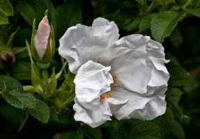 Folded White Rose by muffet1